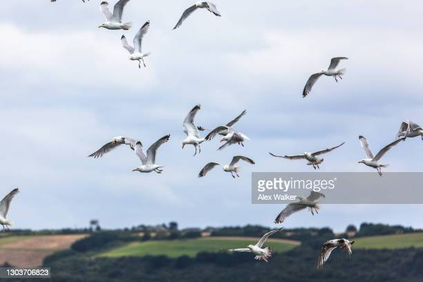 flock of herring gull seagulls flying and catching fish thrown from a nearby boat - falmouth england stock pictures, royalty-free photos & images