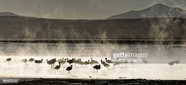 A flock of James's flamingos are seen wading in thermal waters near the small village of Agua Brava more than 4000 meters above sea level in the...