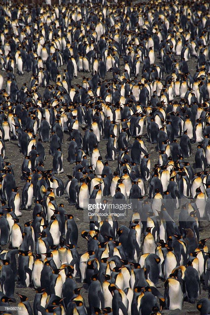 Flock of king penguins : Stockfoto