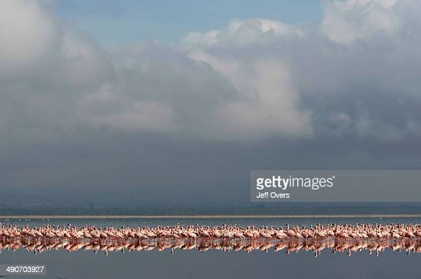 A flock of Lesser flamingos walking in the shallow water of Lake Nakuru Kenya The lake is one of the soda lakes that run the length of the Rift...