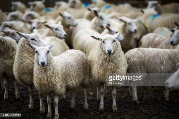 A flock of Lleyn sheep stand in a yard as they are prepared to be sent to market from a farm near Brampton UK on Tuesday Oct 15 2019 According to...