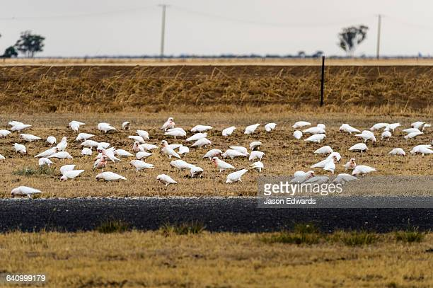 A flock of Long-billed Corellas feed on grass by the roadside.