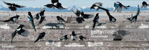 Flock of magpies on fence in prairies and mountain