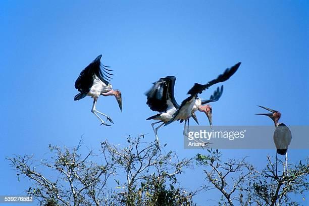 Flock of Marabou storks landing in treetop in the Kruger National Park South Africa
