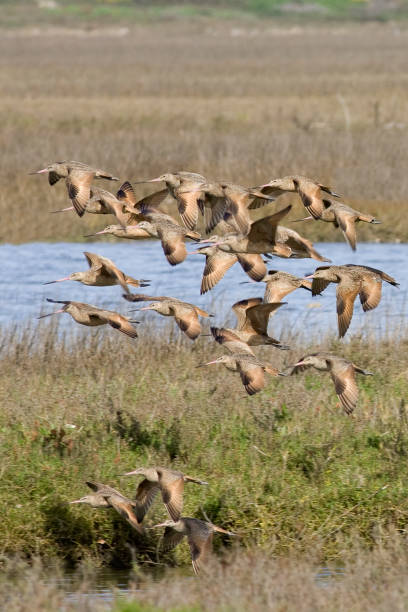 Flock of Marbled Godwits flying