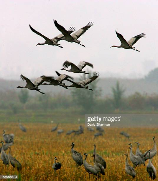 A flock of migrating Eurasian Cranes takes off after feeding in a farmer's field October 19 2005 in the Hula Valley in northern Israel Fears are...