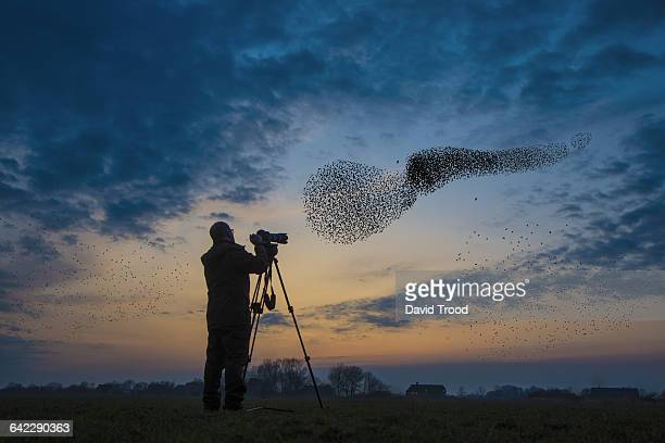 flock of migrating starlings get attacked by hawk. - photographe photos et images de collection