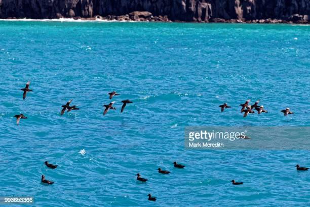Flock of Mutton birds, a Maori delicacy, off the Banks Peninsula