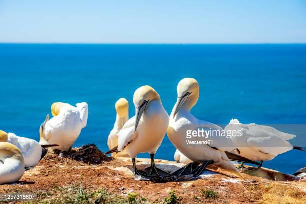 flock of northern gannets (morus bassanus) at edge overlooking sea - northern gannet stockfoto's en -beelden