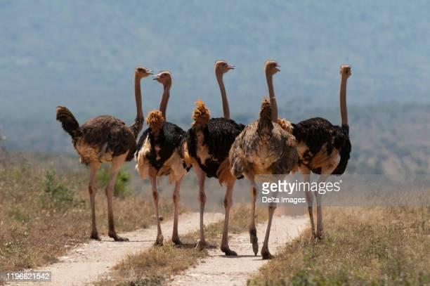 flock of ostrich (struthio camelus), lualenyi game reserve, kenya - erbivoro foto e immagini stock