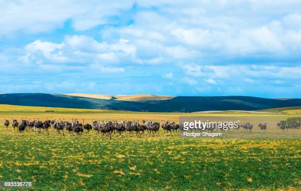 a flock of ostriches in a line - the karoo stock photos and pictures