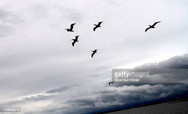 A flock of pelicans fly into clear sky following the end of the Bacot McCarty Foundation Coastal Torch Relay at the Biloxi Bay Bridge in Mississippi...