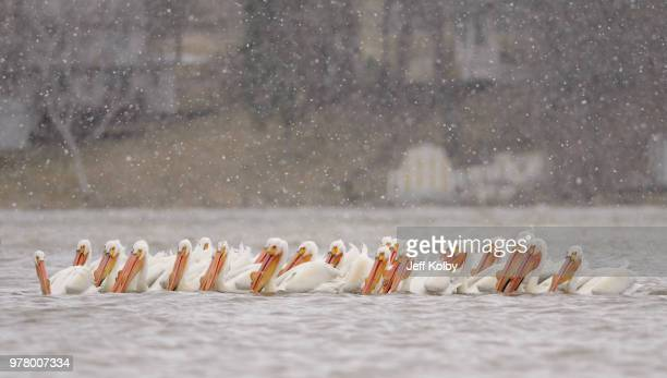 flock of pelicans on tichigan lake, wisconsin, usa - iowa_county,_wisconsin stock pictures, royalty-free photos & images
