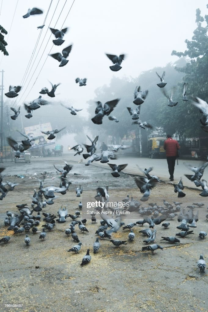 Flock Of Pigeon Flying By Road