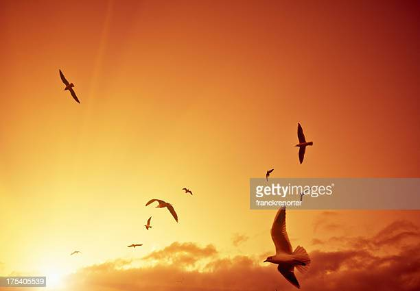 Flock of pigeon flying in the sky at sunset