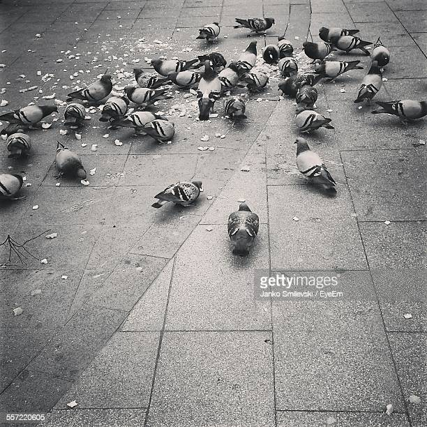 Flock Of Pigeons Feeding On Street