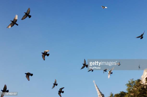 A flock of pigeons flies over Trafalgar Square in London England on May 15 2020 Nearly eight full weeks have now passed since British Prime Minister...