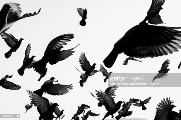 flock of pigeons flying against clear sky - pájaro fotografías e imágenes de stock