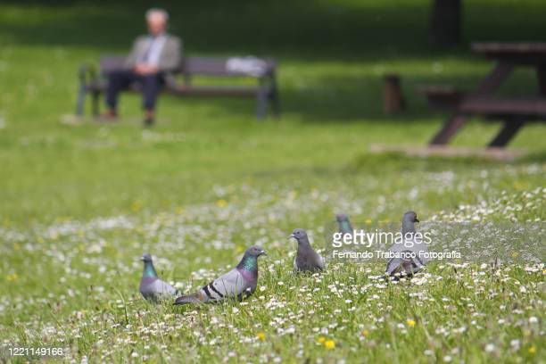 flock of pigeons in the meadow - directeur d'exploitation photos et images de collection