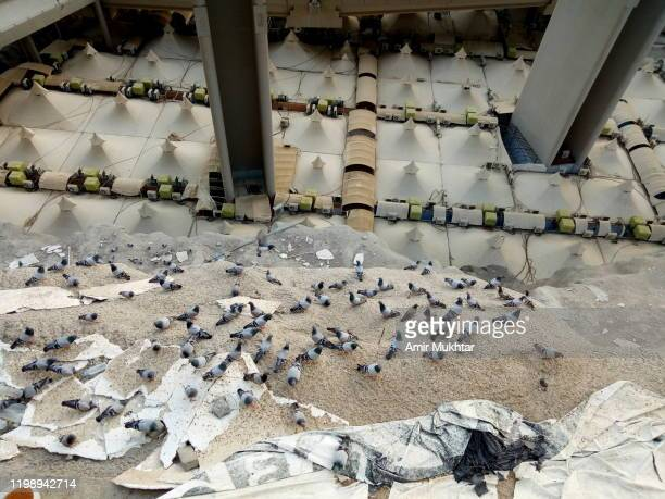 flock of pigeons sitting near camp site (mina) for pilgrims during hajj - ziarat stock pictures, royalty-free photos & images