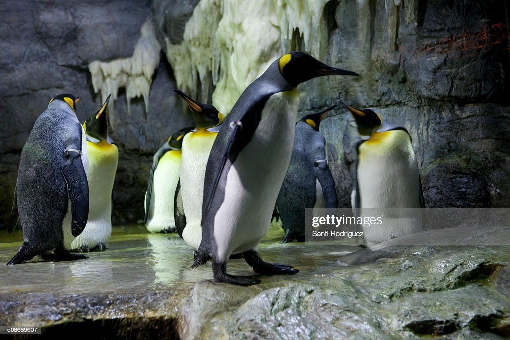 flock of pinguins : Stock Photo