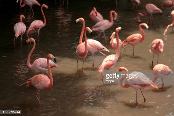 flock of pink flamingos, singapore - jurong bird park stock pictures, royalty-free photos & images