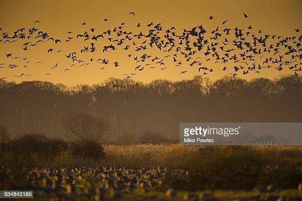 Flock of pink-footed Geese, Norfolk