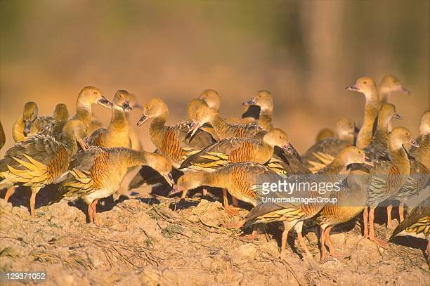 Flock of Plumed Whistling Ducks / Tree Ducks whistle and posture in group communication at sunset beside a Gulf lowland billabong their daytime roost...