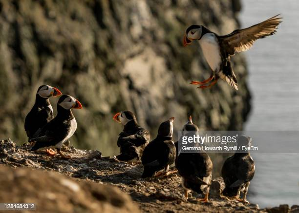 flock of puffins - medium group of animals stock pictures, royalty-free photos & images