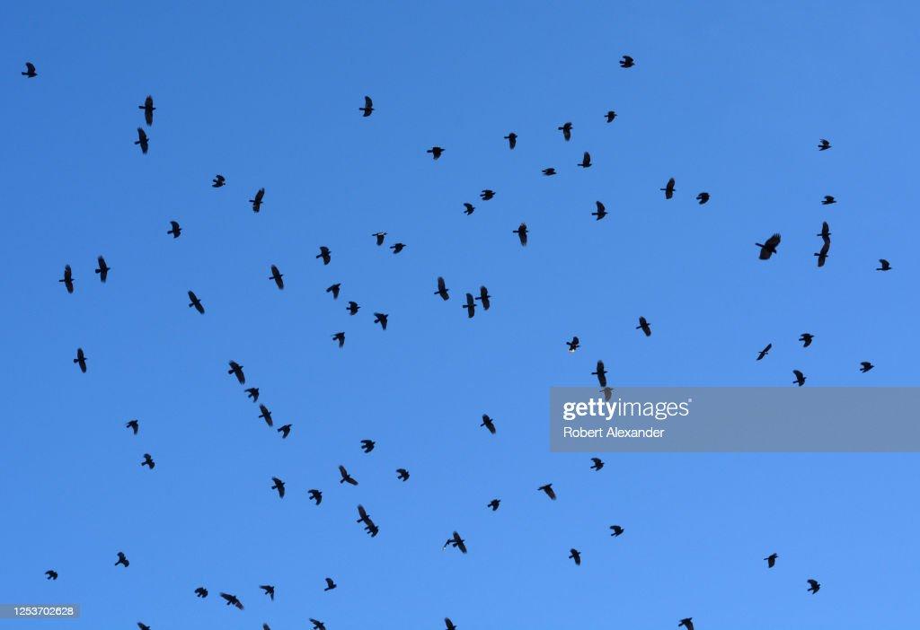 A flock or ravens : News Photo
