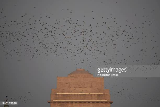 A flock of Rosy Starlings seen during dusk at India Gate on March 30 2018 in New Delhi India
