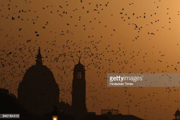 A flock of Rosy Starlings seen during dusk at Rashtrapati Bhawan on March 30 2018 in New Delhi India