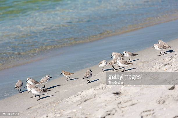Flock of Sanderlings Calidris alba wading shorebirds on the beach shoreline at Captiva Island Florida USA
