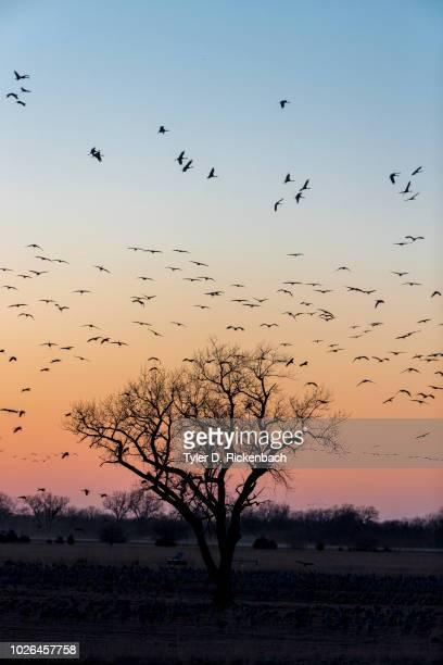 Flock of sandhill crane (Antigone canadensis) birds at sunset, Kearney, Nebraska, USA