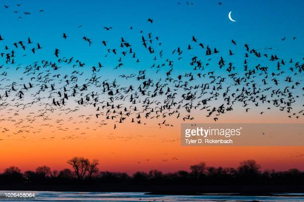 Flock of sandhill crane (Antigone canadensis) birds at sunset, Platte River, Kearney, Nebraska, USA