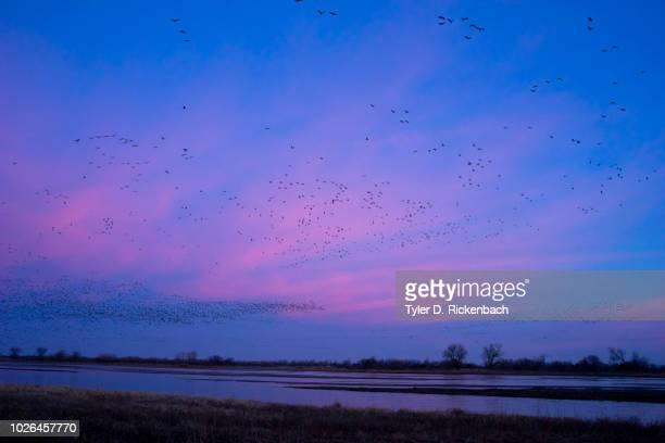 Flock of sandhill crane (Antigone canadensis) birds at sunset, Platter River, Kearney, Nebraska, USA