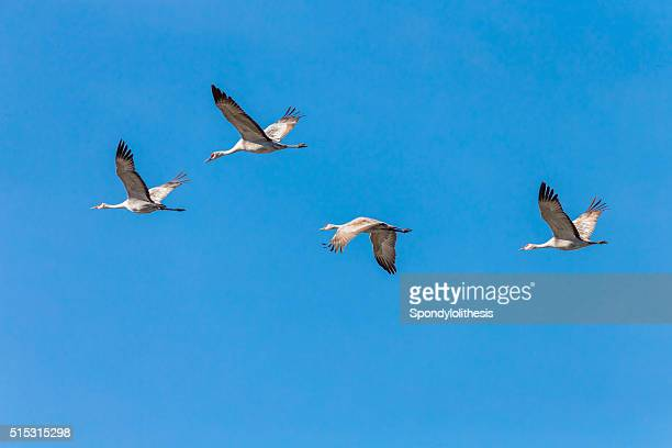 Flock of Sandhill Cranes Flying, California, USA