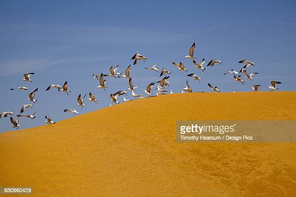 a flock of sea gulls takes flight after feeding on a mound of processed corn (corn gluten meal) used for cattle and chicken feed, imperial valley - timothy hearsum ストックフォトと画像