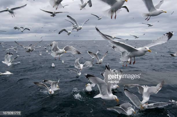 かもめ (下関) の群れ - 海洋性の鳥 ストックフォトと画像