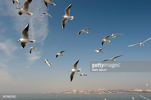A flock of seagulls flying above the sea, Istanbul, Turkey in background