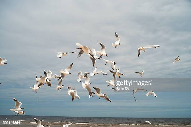 Flock of Seagulls flying in anticipation of food