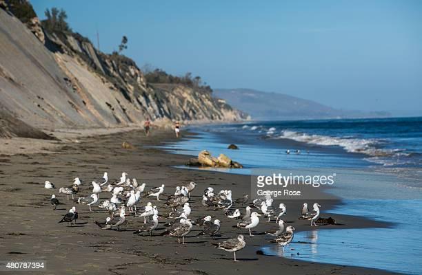 A flock of seagulls gather at surf's edge at Gaviota State Beach on June 20 near Santa Barbara California Because of its close proximity to Southern...