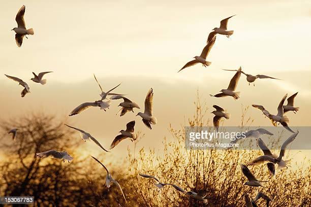 A flock of seagulls in midflight taken on November 24 2011