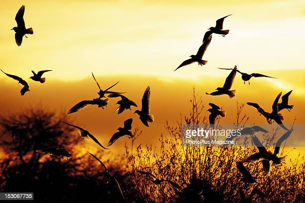 A flock of seagulls in silhouette against a winter sunset taken on November 24 2011