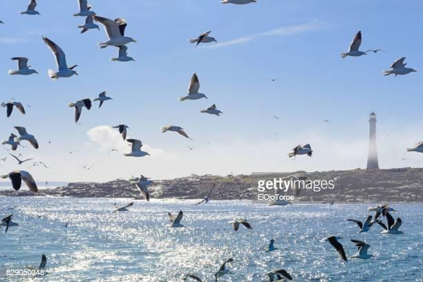 Flock of seagulls near 'Isla de Lobos', near Punta del Este