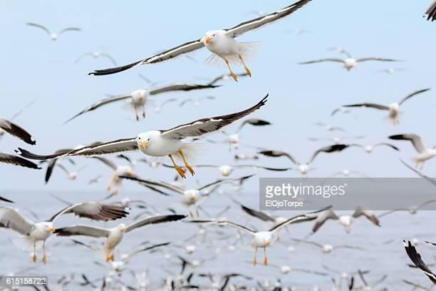 Flock of seagulls near Isla de Lobos, Punta del Este, Uruguay