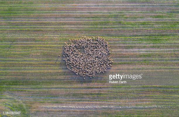 flock of sheep aerial view making a pattern over the land - 羊の群 ストックフォトと画像