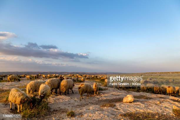 a flock of sheep, al ar, jordan - images stock pictures, royalty-free photos & images