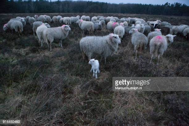 Flock of sheep and 1 lamb