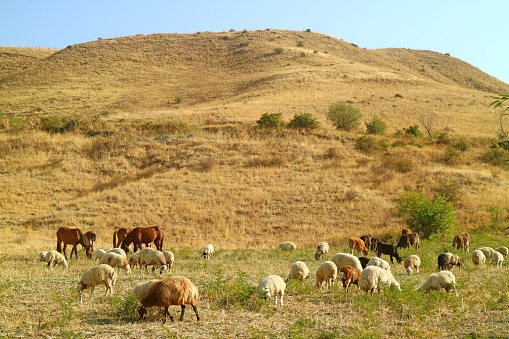 Flock of Sheep and Cow Grazing Freely in the Field, Vayots Dzor Province, Armenia 1202097121
